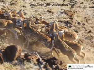 Deer vs Mouflon